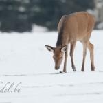biche dans la neige 009